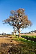 Oak trees, Quercus Robur, autumn leaf blue sky Suffolk Sandlings AONB, England, UK