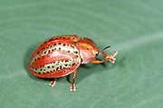 Tortoise Beetle, family Chrysomelidae, subfamily Hispinae, on leaf, Panama, Central America, Gamboa Reserve, Parque Nacional Soberania, orange and gold colours