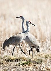 Sandhill Cranes enjoying the spring sun at Market Lake Wildlife Refuge in Roberts Idaho