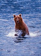Image of a grizzly bear (Ursus arctos horribilis) splashing in the water at Brooks Falls, Katmai National Park, Alaska, Pacific Northwest by Randy Wells