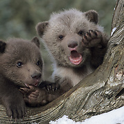 Grizzly Bear (Ursus horribillis) spring cubs in Montana. Captive Animal