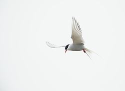 Arctic tern (Sterna paradisedaea) in Svalbard
