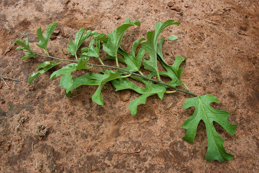 Medicinal plant sample 1
