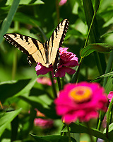 Eastern Tiger Swallowtail butterfly feeding on a Zinnia flower. Image taken with a Nikon 1 V3 camera and 70-300 mm VR lens.
