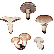 Mushrooms, Pathogenic fungi from the book Sveriges ätliga och giftiga svampar tecknade efter naturen under ledning [Sweden's edible and poisonous mushrooms drawn after nature under guidance] By Fries, Elias, 1794-1878; Kungl. Svenska vetenskapsakademien Published in Stockholm, Sweden in 1861