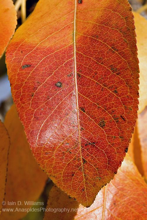 Pear Leaf Red Foliage, Tasmania
