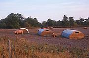 A084T7 Outdoor free range pig unit Suffolk England