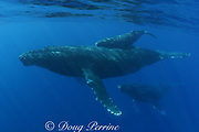humpback whales, Megaptera novaeangliae, female with calf and male escort, Kona, Hawaii; caption must state photo taken under NMFS research permit #587