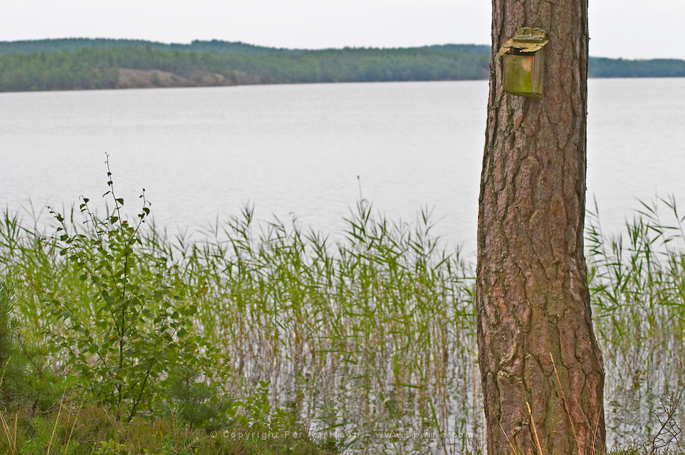 A nest box on a tree trunk at the water's edge by a lake in the forest. Reeds growing in the water. Smaland region. Sweden, Europe.