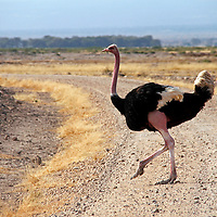 Africa, Kenya, Amboseli. Male Maasai Ostrich at Amboseli.