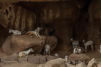 Assorted livestock lounge in a roadside cave near Hampi, India