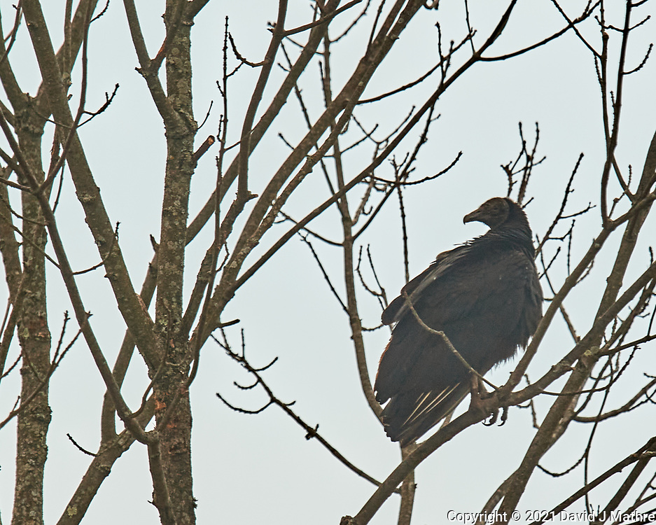 Black Vulture (Coragyps atratus). Image taken with a Nikon D5 camera and 600 mm f/4 VR lens.