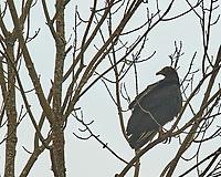 Black Vulture (Coragyps atratus). Image taken with a Nikon D5 camera and 600 mm f/4 VR lens.