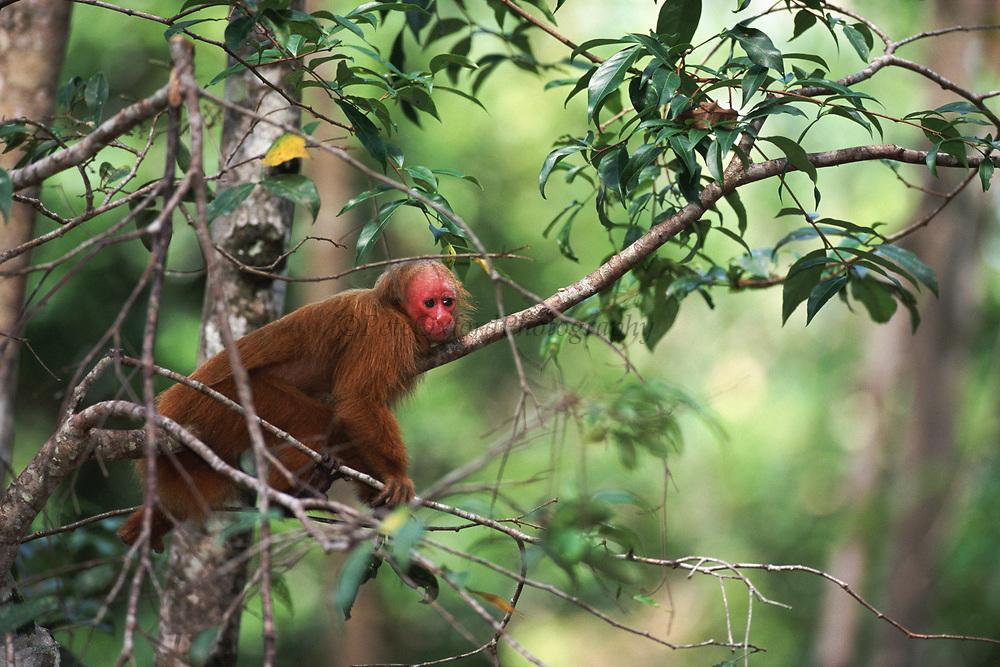 Red Uakari<br />Calvus Calvus Rubicundus<br />Amazon, BRAZIL, South America<br />RANGE; Central Amazon Basin