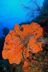 Orange Elephant Ear Sponge, Agelas clathrodes, Family: Demospongiae, West End, Grand Bahamas, Caribbean, Atlantic Ocean