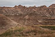 A pronghorn seen in Badlands National Park, South Dakota