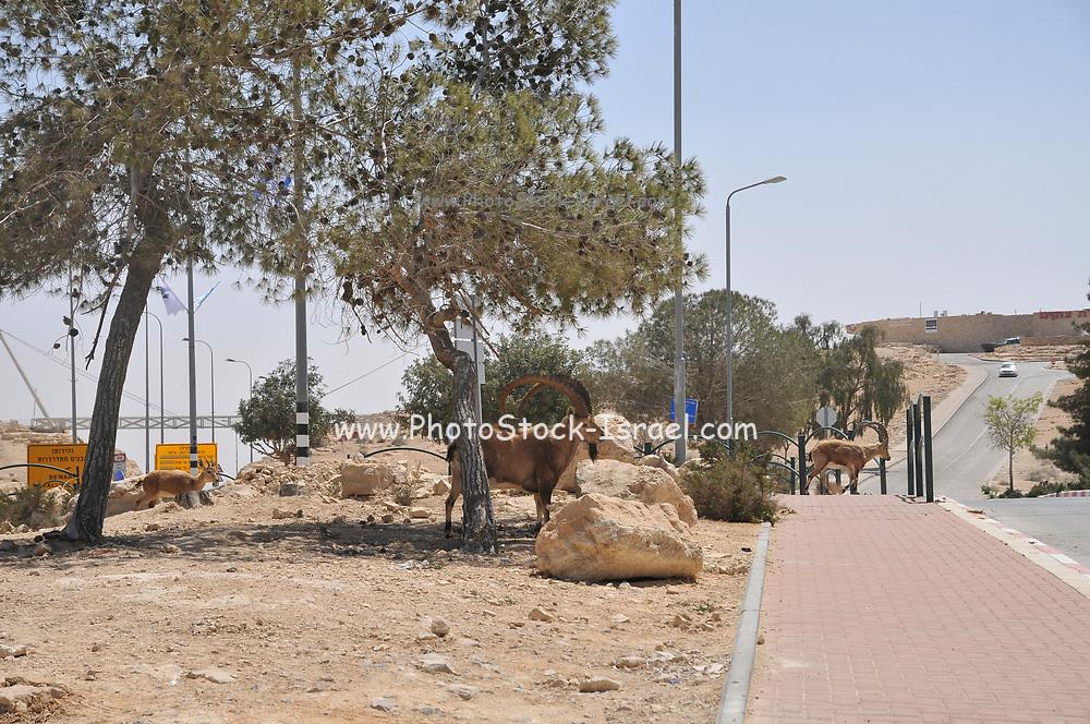 Israel, Negev Desert, Mitzpe Ramon, a herd of Ibex (Capra ibex nubiana) wondering in the town