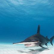 Great hammerhead shark (Sphyrna mokarran) swimming over sandy seabed off Bimini, Bahamas.