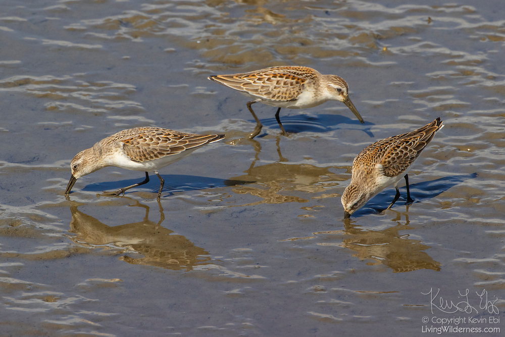 Three western sandpipers (Calidris mauri) feed in the mudflats exposed at low tide in Port Gardner in Everett, Washington.