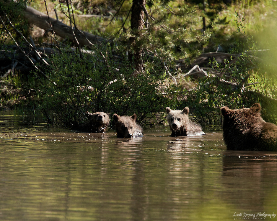 A mother grizzly bear watches over her three little ones as they enjoy a dip in the pond, Grand Teton National Park, Wyoming.