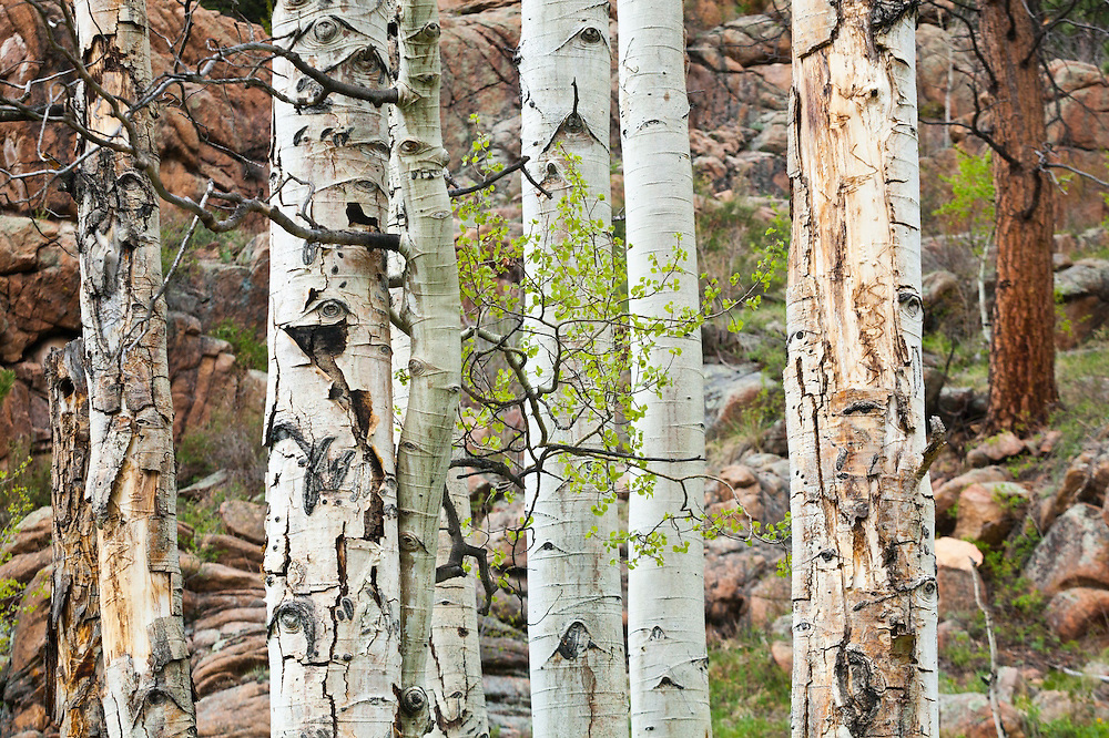 Detail of aspen and ponderosa pine tree trunks, Lost Creek Wilderness, Colorado.