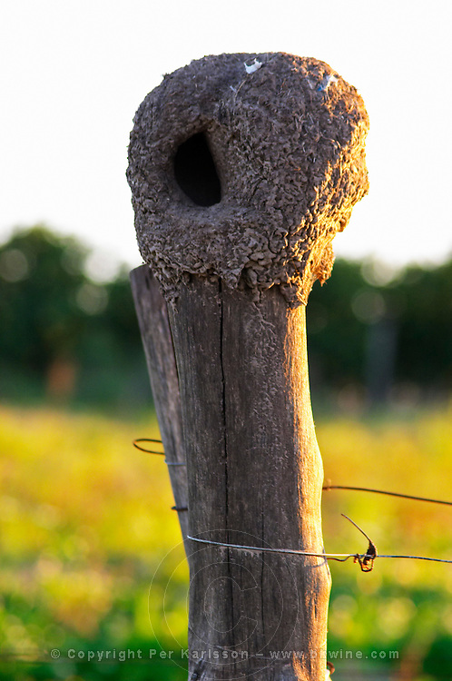 Vines in the vineyard before pruning and an oven shaped clay mud bird's nest of Rufous hornero Furnarius Rufus ovenbird on one of the wooden poles. Bodega Carlos Pizzorno Winery, Canelon Chico, Canelones, Uruguay, South America