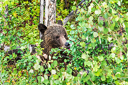 Grizzly Bear eating Choke Cherries in Grand Teton National Park.   This a a large 1.5 year old cub of Grizzly 399s and one of her Quadruplets