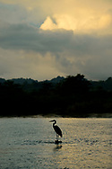 A Great Blue Heron (Ardea herodias) at sunrise on the waters of Golfo Dulce, Costa Rica.