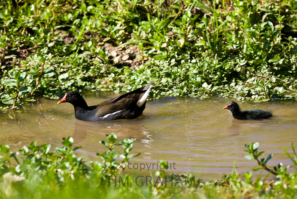 Moorhen followed by one of her chicks on the River Leach at Eastleach Martin, The Cotswolds, Gloucestershire