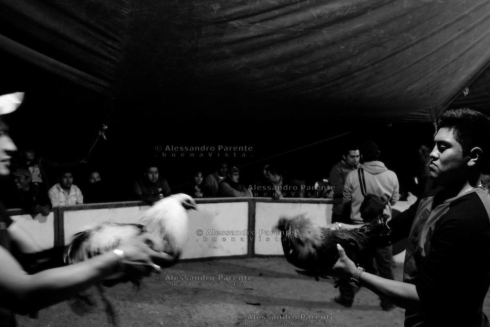 ENG:<br /> Before the fighting cocks are stirred up by a third cock which has the task of teasing them.<br /> ITA:<br /> Prima del combattimento i galli vengono aizzati da un terzo gallo che ha il compito di stuzzicarli.