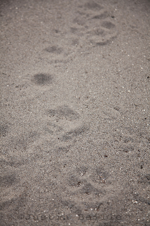 Tiger tracks in sand while on second decent raft trip of the Drangme Chhu (river) in Bhutan.