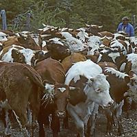 A Chilean huaso (cowboy) herds his cattle near Coihaique.
