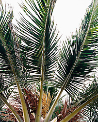 Fan palm tree, close-up