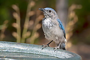 Young male Woodhouse's Scrub Jay, New Mexico.