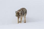 Coyote (canis latrans) in winter habitat