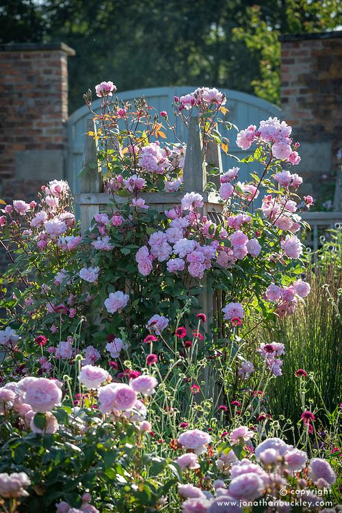 Rosa 'Mortimer Sackler' AGM syn. 'Ausorts' growing on a wooden obelisk