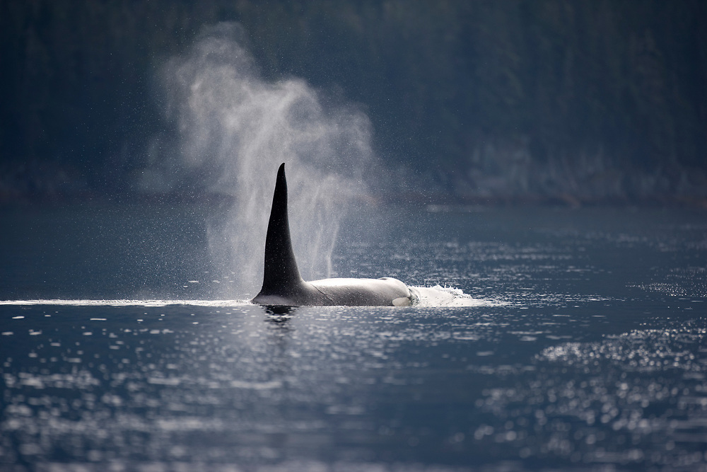 USA, Alaska, Juneau, Killer Whale (Orcinus orca) surfaces to breathe while swimming  in Stephens Passage on summer morning