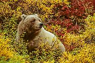 Grizzly bear among willow and blueberry bushes, autumn, Denali National Park, Alaska, © David A. Ponton