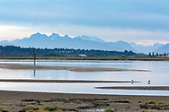 A trio of Greater Yellowlegs (Tringa melanoleuca) forage in the Nicomekl River estuary with the Golden Ears Mountains in the background.  Photographed from Blackie Spit in Surrey, British Columbia, Canada