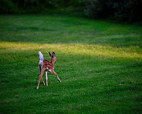 Fawn Running Away. Image taken with a Fuji X-T3 camera and 200 mm f/2 lens