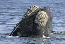 July 6, 2015 - Southern Right Whale, South Africa  (Credit Image: © Tuns/DPA/ZUMA Wire)