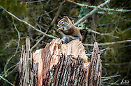 A Red Squirrel going to town on a tree stump in the middle of a cold winter's day, creating quite an interesting sculpture.