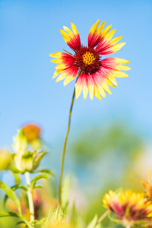Firewheel is a wildflower favorite, spreading cheer with its merry disposition, Grand Oaks Greenbelt, Austin, Texas