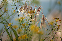 Drooping Brome grass, Bromus tectorum.<br /> Stenje region, Lake Macro Prespa (850m) <br /> Galicica National Park, Macedonia, June 2009<br /> Mission: Macedonia, Lake Macro Prespa /  Lake Ohrid, Transnational Park<br /> David Maitland / Wild Wonders of Europe
