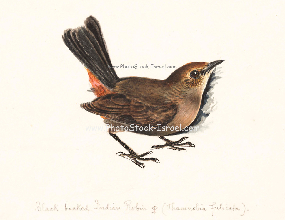 Female Indian robin (Copsychus fulicatus or Saxicoloides fulicata) 18th century watercolor painting by Elizabeth Gwillim. Lady Elizabeth Symonds Gwillim (21 April 1763 – 21 December 1807) was an artist married to Sir Henry Gwillim, Puisne Judge at the Madras high court until 1808. Lady Gwillim painted a series of about 200 watercolours of Indian birds. Produced about 20 years before John James Audubon, her work has been acclaimed for its accuracy and natural postures as they were drawn from observations of the birds in life. She also painted fishes and flowers. McGill University Library and Archives