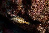 Whitley's Boxfish, Ostracion whitleyi, Fowler, 1931, Kona Hawaii
