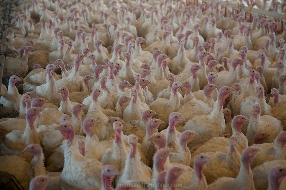 One of Ralph Rohrer's turkey houses on his turkey farm in Dayton, Virginia supplying Cargill. 11,000 turkeys in a building 600 feet long.