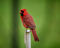 Northern Cardinal. Image taken with a Nikon D5 camera and 600 mm f/4 VR lens (ISO 1400, 600 mm, f/5.6, 1/1250 sec)