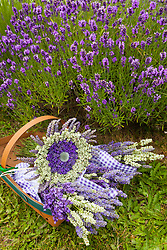 North America, United States, Washington, Sequim, basket of bouquets of dried lavender at Lavender Festival, held annually each July