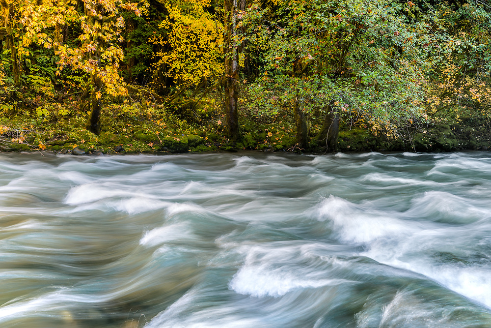 The South Santiam River flows in front of autumn-hued broad leaf maple trees, in the Willamette National Forest of Oregon.